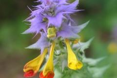cvijet - sumska urodica (Copy)