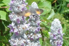 leptir obicna golupka (Copy)